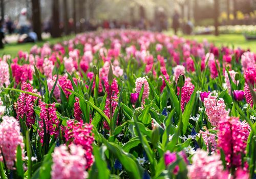 Hyacinten in de bloei